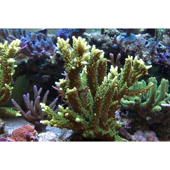 Acropora sp. - Yellow / Green